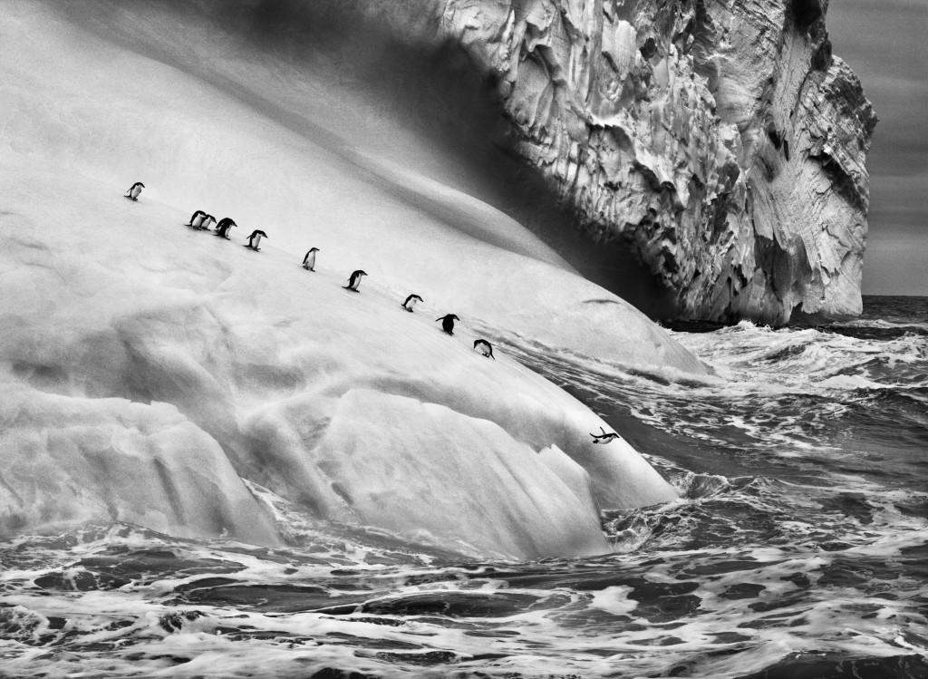 Pingüins de cara blanca | Foto: Sebastiao Salgado